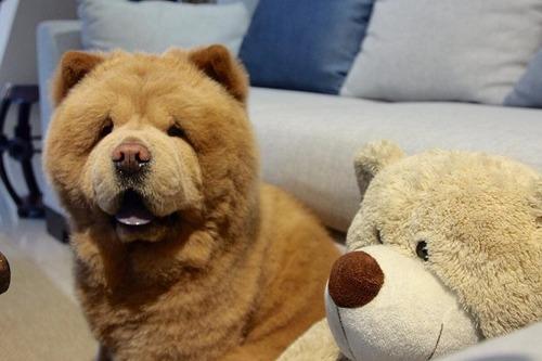 この犬ってチャウチャウ?