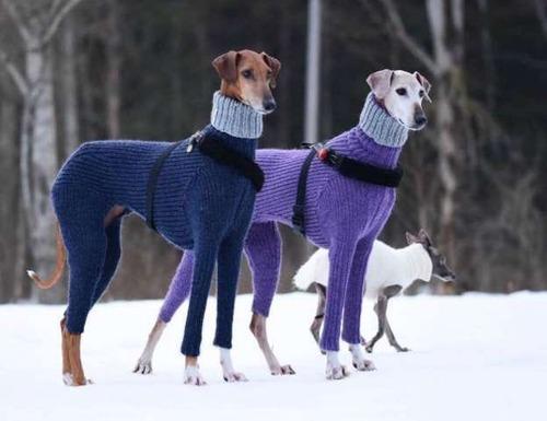 犬さん、セーターをオシャレに着こなす