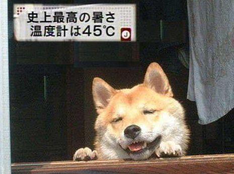 犬も歩けば熱中症