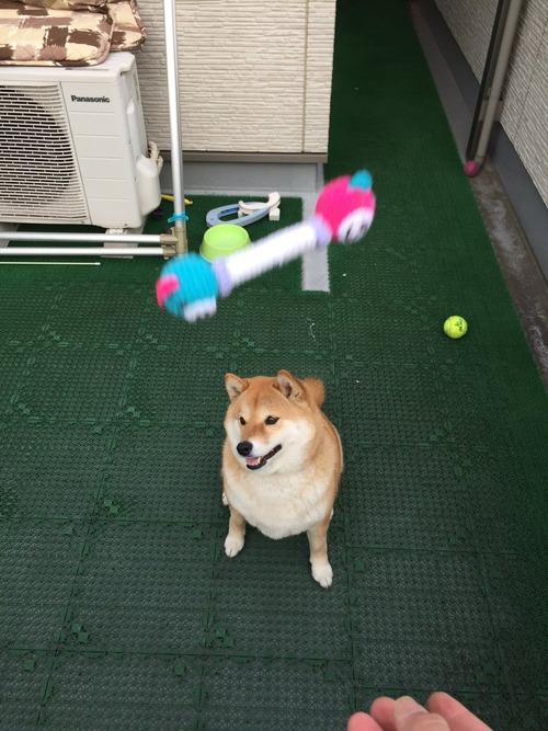 柴犬におもちゃを投げた結果www3