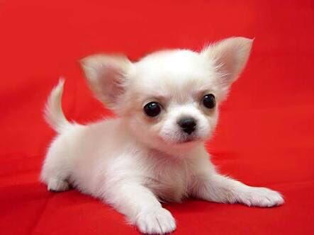 犬で一番かわいいのって何