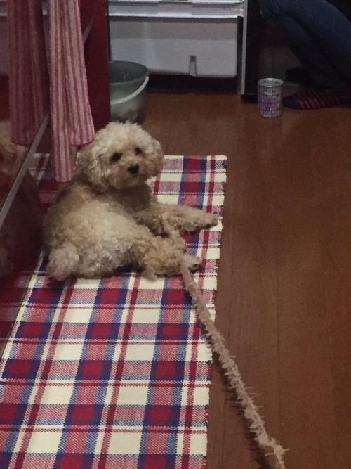 【悲報】犬、ほつれる2