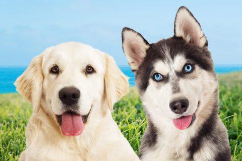 三大可愛い犬「ゴールデンレトリバー」「シベリアンハスキー」