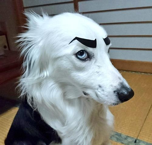 愛犬にゴルゴ13の眉毛を付けてみた2