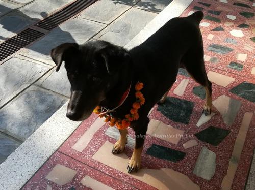 ネパールの犬のお祭「ククルティハール」2