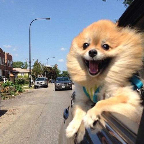 車の窓から顔を出して風と戯れる犬画像4
