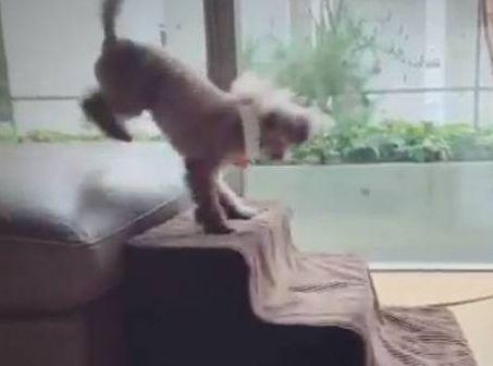 クセの強い階段の登り方をする犬が可愛すぎてつらい
