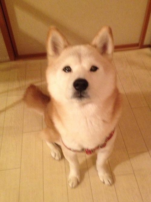 柴犬の喜怒哀楽wwwwww3