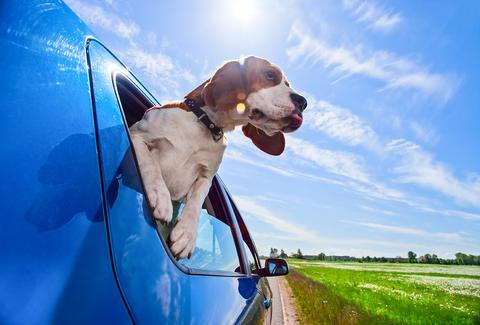 車の窓から顔を出して風と戯れる犬画像20