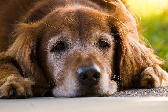 飼いなれた愛犬が老いていく寂しさは異常