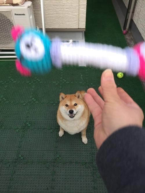 柴犬におもちゃを投げた結果www2