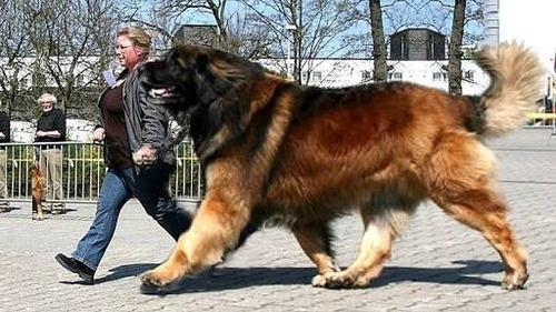 散歩してたらみんながビビる様な犬を飼いたい