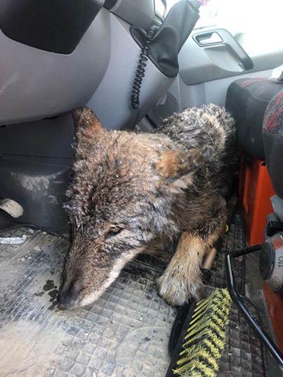 「極寒の川に犬が!いま助けるぞ!」→オオカミでした3