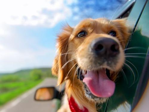 車の窓から顔を出して風と戯れる犬画像2