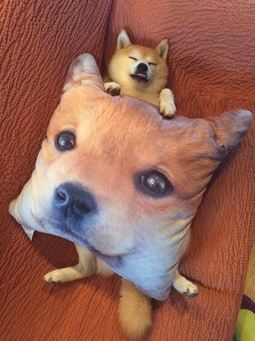 柴犬クッションで寝る柴犬wwwwwwwww