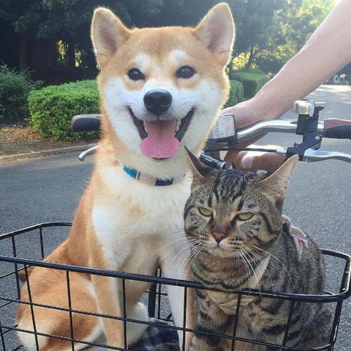 散歩だと信じきってる柴犬と行き先が病院だと気づき始めた猫の顔