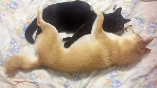 猫が好きすぎて離したくない柴犬