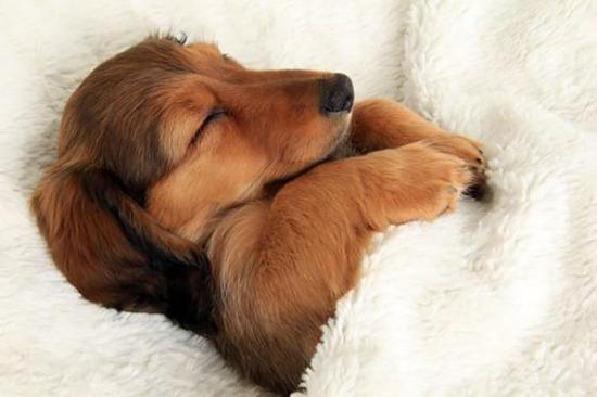 ベッドで熟睡する犬の画像