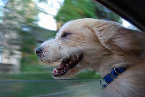 車の窓から顔を出して風と戯れる犬画像19