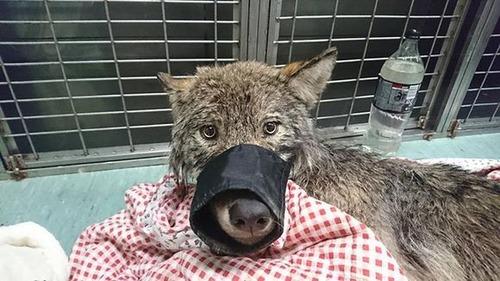 「極寒の川に犬が!いま助けるぞ!」→オオカミでした
