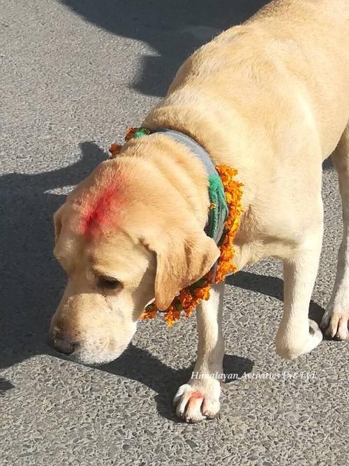 ネパールの犬のお祭「ククルティハール」4
