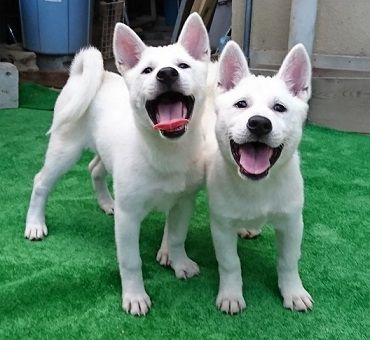 ●紀州犬についてのお知らせ