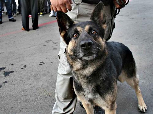 伝説の麻薬探知犬