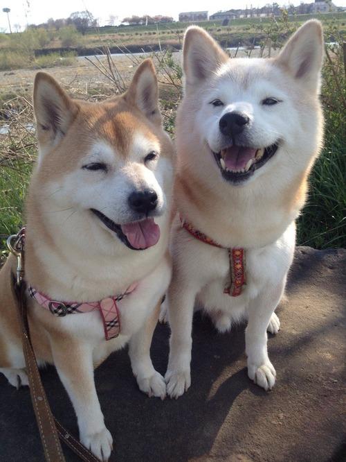 柴犬の喜怒哀楽wwwwww4