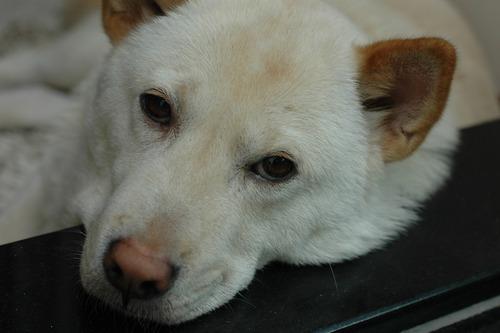 飼い主らを襲って射殺された紀州犬