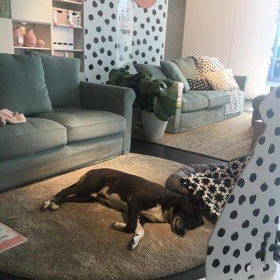 IKEAの店内で、野良犬たちがお昼寝