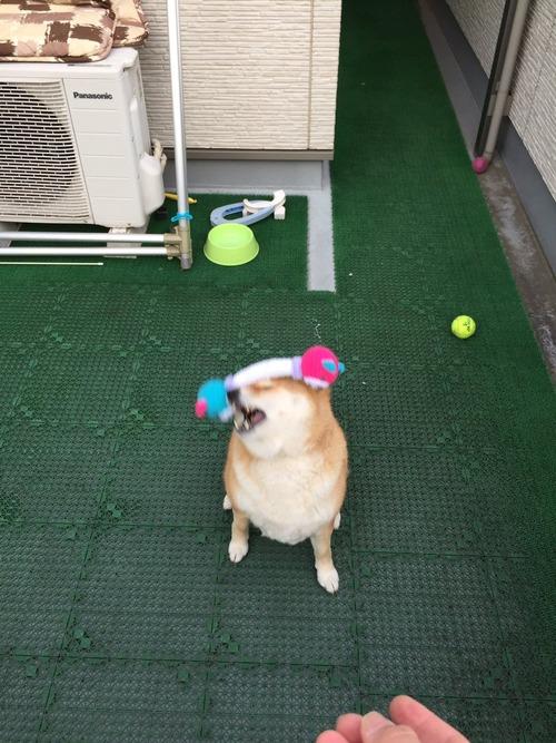 柴犬におもちゃを投げた結果www4