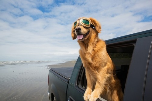 車の窓から顔を出して風と戯れる犬画像17
