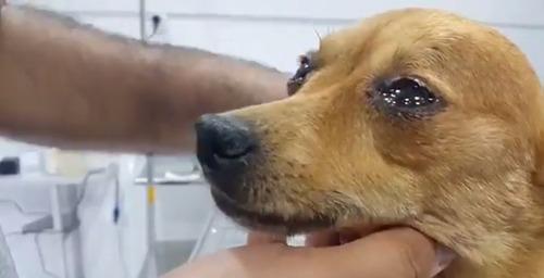 保護された犬が安心して涙を流す映像