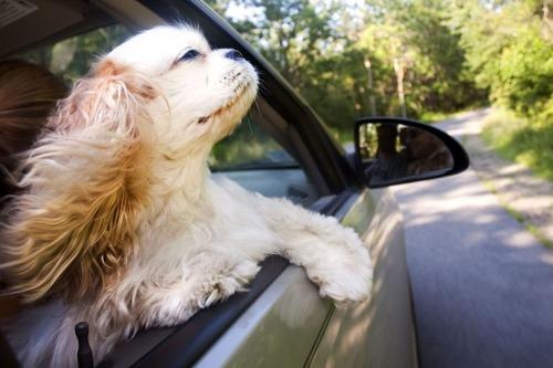車の窓から顔を出して風と戯れる犬画像14