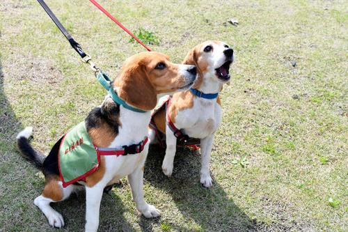 外来種のヒアリを見つける「ヒアリ探索犬」、台湾から来日