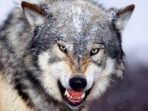 飼い犬の祖先、オオカミの1個体群から枝分かれか
