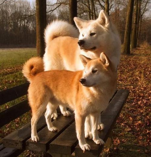 秋田犬と柴犬ってどっちが人気あんの?