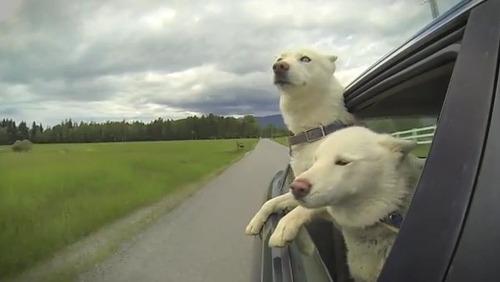 車の窓から顔を出して風と戯れる犬画像18