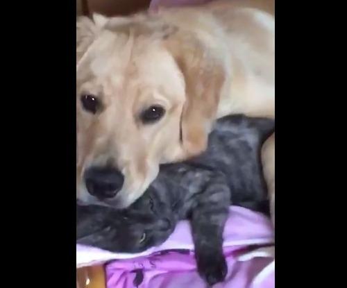犬さん、猫を枕にしてしまう