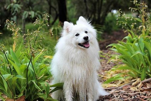 日本スピッツとかいう犬可愛すぎて草