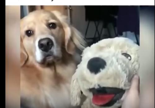 愛犬の前で犬のぬいぐるみを可愛がってみた結果