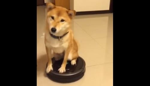 【速報】柴犬がルンバに誘拐される事案が発生!