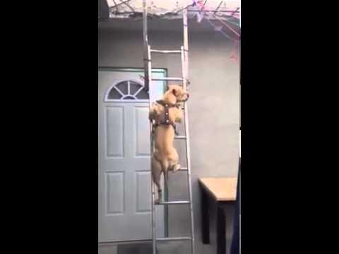 【動画】ハシゴを一生懸命昇るイヌが話題に