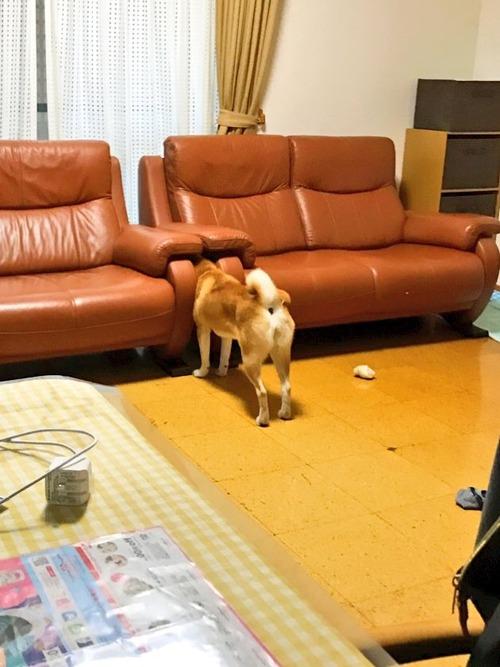 【悲報】柴犬、挟まる