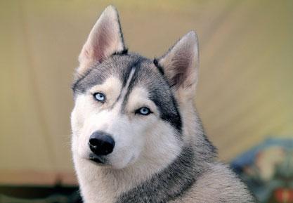 まだ散歩したい!と主張するハスキー犬が可愛すぎる