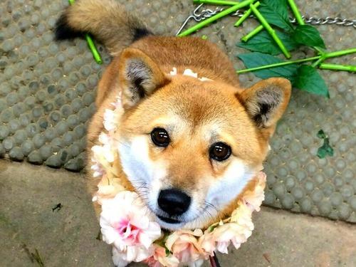 女子高生みたいな可愛い犬の別の日の顔