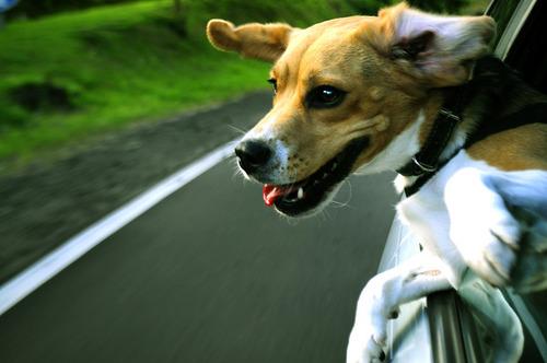 車の窓から顔を出して風と戯れる犬画像12