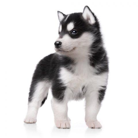 犬を飼う予定なんだがハスキーと柴犬で迷ってる