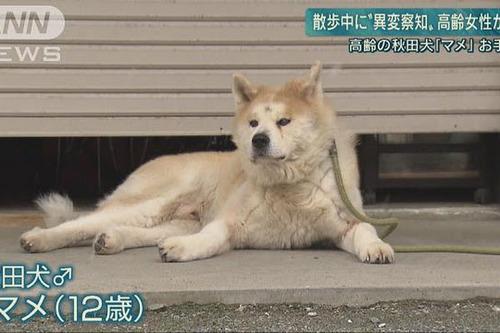 高齢秋田犬がお手柄 散歩中におばあちゃん助ける