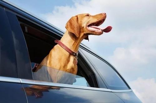 車の窓から顔を出して風と戯れる犬画像13